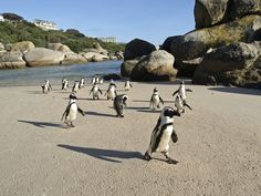 Boulders Beach, Cape Town I really want to see penguins! Beach Tops, Beach Fun, Places To Travel, Places To See, Boulder Beach, Running On The Beach, Cape Town South Africa, All Nature, Nature Beach