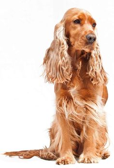 Cocker spaniel show type - most popular dog in the UK Cocker Spaniel Haircut, Show Cocker Spaniel, English Cocker Spaniel, Spaniel Puppies, Crate Training, Training Your Dog, Shiba Inu, Beagle, Pictures To Paint