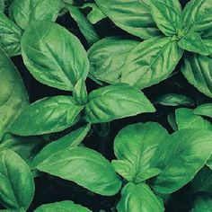 Did you know that you can cut a stem off of your basil and grow another plant from it? Place the stem in water until roots appear, then transplant to acontainer!