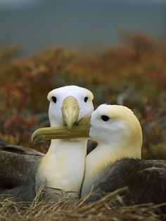 Waved Albatross (Diomedea Irrorata), Punta Cevallos, Espanola Island, Galapagos Islands, Ecuador