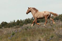 A wild mustang bachelor stallion running the hilltop, headed down to where is buddies are, rejoining them for safety in numbers after he spotted us in the distance. He has the characteristics of a varnish appaloosa.