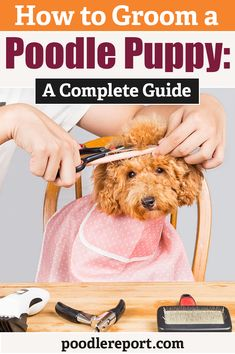 The post Poodle Report Articles appeared first on Dogs and Diana. Tiny Puppies, Kittens And Puppies, Poodle Puppies, Poodle Grooming, Dog Grooming, Poodle Haircut Styles, Small Poodle, Homemade Dog Toys, French Poodles
