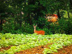 Deer in a Tobacco field  http://www.rousecoinc.com