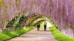 Spring Wallpaper HD Wisteria Tunnel, Spring Desktop Wallpaper, Nature Wallpaper, Hd Wallpaper,