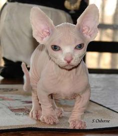 Am I the only one that finds munchkin sphynx's adorable...I love animals but I dont like shedding...problem solved.