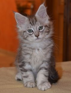 Maincoons are the most cute cats in the world.pinning bc this looks JUST like my Marble! Pretty Cats, Beautiful Cats, Animals Beautiful, Pretty Kitty, I Love Cats, Crazy Cats, Cool Cats, Baby Animals, Funny Animals