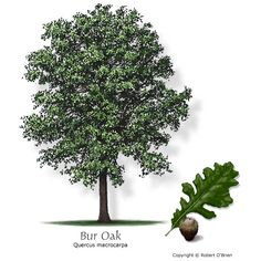 Bur Oak (Mossycup Oak) - Native to the area, deciduous, large, slow growth rate