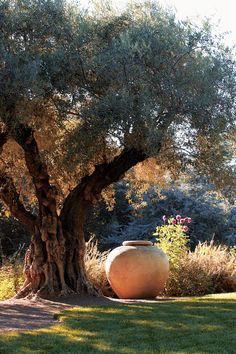 Large pots under mature trees focus the eye & creates a contrast between the gnarled trunk & the smooth terracotta