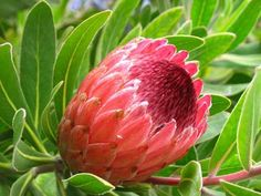 protea plant species on Earth, the majority of which are found in South Western Australia (SWA) and the Cape Floristic Region (CFR) of South Africa. Lilac Tree, Peach Trees, Trees And Shrubs, Trees To Plant, Protea Plant, Succulent Rock Garden, Plant Classification, African Plants, Plant Pictures