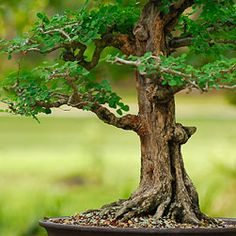 How To Care For Bonsai Trees - ProFlowers Blog