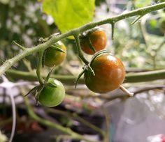 We've successfully have grown tomatoes hydroponically. Hydroponic Supplies, Growing Tomatoes, Hydroponics, Vegetables, Garden, Garten, Vegetable Recipes, Veggie Food, Gardens