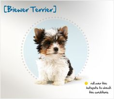 Did you know the Biewer Terrier is a color variation of the Yorkshire Terrier? Biewer Terriers originated in Hunstruck, Germany, in 1984. Werner and Gertrude Biewer were avid Yorkshire Terrier breeders, and they began purposely breeding some of their stock in which a recessive piebald gene occurred. The result was a blue, white, and gold dog which they named the Biewer Terrier.