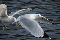 #seagull #seagulls #gull #gulls #bird #birds #animal #animals #wildlife #park #briantpark #newjersey #summit #lake #water #fly #flying