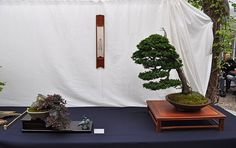Image result for tanzaku for bonsai