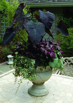 """Container Gardening -""""Purple Passion"""" container combines the rich, eye-catching tones of Colocasia 'Black Magic', Brunnera 'Jack Frost', Begonia 'Benitochiba', and Heuchera 'Black Beauty'. Outdoor Plants, Outdoor Gardens, Gothic Garden, Pot Jardin, Black Garden, Big Garden, Garden Tips, Heuchera, Garden Cottage"""