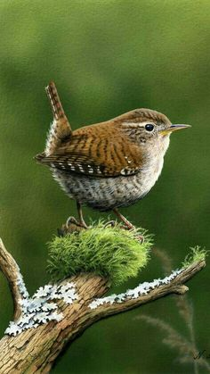 Brown or Grey feathered, Wrens are lively & vocal, insect eaters, have a beautiful song, great to watch in the Spring. They devour sawfly larvae! So put up those wren houses! Cute Birds, Pretty Birds, Small Birds, Little Birds, Colorful Birds, Beautiful Birds, Animals Beautiful, Cute Animals, Exotic Birds