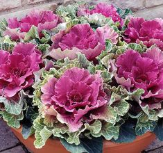 Cabbage Plant, Cabbage Seeds, Cabbage Roses, Flowering Kale, Ornamental Cabbage, Ornamental Plants, Fall Containers, Winter Flowers, Winter Plants