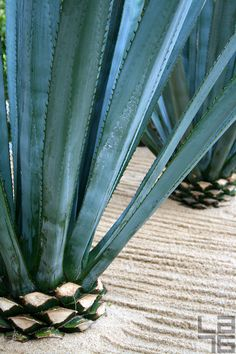Agave in Cabo San Lucas, Baja California Sur, Mexico. Agave nectar has been used as an alternative to sugar in cooking.