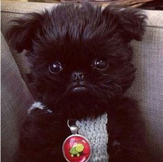 We all know that Alo has got that one under control though. Meet Alo, The Griffon Pup Out To Steal Your Heart Brussels Griffon Puppies, Griffon Dog, Cute Puppies, Cute Dogs, Dogs And Puppies, Doggies, Animals And Pets, Baby Animals, Shih Tzu
