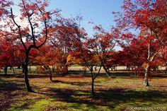Beautiful autumn colors in Okayama's Korakuen Garden (one of Japan's top 3 gardens)!