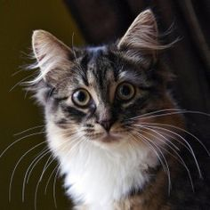 Fallon is an adoptable Domestic Medium Hair Cat in Waterloo, ON. CONTACT: Please contact Pet Patrol by PHONE (519-669-1979) or email: jan@petpatrol.com, and PLEASE MENTION WHICH KITTY YOU ARE INTEREST...