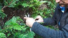 Wat doe je aan bruine plekken en gaten in de conifeer? of: tuinieren met...