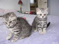 Blue silver tabby british shorthair kitten. These cats are so cute. http://skidoosh.webs.com/apps/photos/photo?photoid=47239943