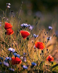 The floral language of #Poppy is #obilivion #sleep #imagination  #ポピー の花言葉は#忘却 #眠り #想像力 . #nightmare #PressedForTime #ぐっすり眠りたい #25April2017