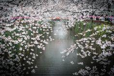 "Location : N 35°38'45.198"", E 139°41'54.858"" (Naka-Meguro Station) 日本を愛するタイ人の撮影した写真が美しすぎて完全にプロの犯行www"