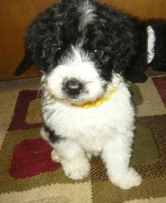 Puppies for Sale from South Creek Puppies - Member since March 2012 Portuguese Water Dog Puppy, Doodle Dog, Dogs For Sale, Puppy Love, Dogs And Puppies, Cute Animals, Doodles, Pets, Missouri