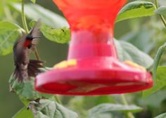 Hummingbird in my back yard...  these guys are fearless of people when they get that scent...