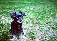 #puppy #puppylove #dogs #dogsofaustin #dogsofinstagram #blackdog #pup #pupsofinstagram #pupstagram #goodboy #mansbestfriend #green #smalldogs #puppypower #doglover #happydog #photography #dogphoto #dogphotography #dogportrait #dogpark #puppyportrait #dogears #goodtimes #canine