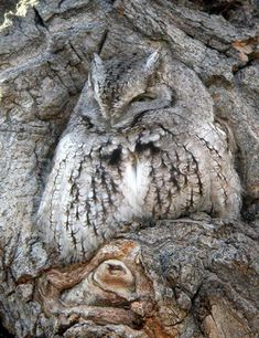 I know this is an Eastern Screech Owl . a lil Owl n amazin lil fella too! Too bad we keep messin' it up n then screamin' for a quick 'fix' . Work in this field n ya'll understand' . Nature Animals, Animals And Pets, Cute Animals, Owl Photos, Owl Pictures, Beautiful Owl, Animals Beautiful, Imagen Natural, Photo Animaliere