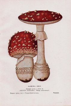 Fly Agaric Mushrooms Vintage Print  Amanita muscaria