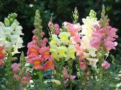 Antirrhinum é um género botânico pertencente à família Plantaginaceae. Tradicionalmente este gênero era classificado na família das Scrophulariaceae. Nome vulgar bocas-de-lobo