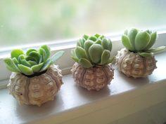 Succulents in Shells. Brilliant.