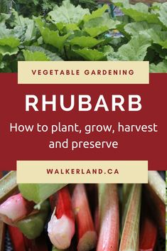 Growing Vegetables Rhubarb: Learn how to plant, grow, harvest and preserve rhubarb. - Discover the benefits of growing rhubarb in your garden. An easy to grow perennial edible, it can be grown almost anywhere and with ease.