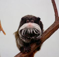 亞馬遜地區的皇狨猴(Saguinus imperator)。