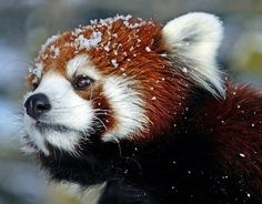 Snowy Red Panda #awesome