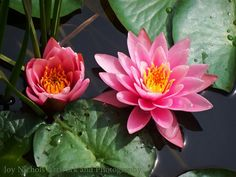 Water Lilies Last summer I stumbled upon a gorgeous little pond in Maine. Bees were buzzing, and the water was busy with frogs among the beautiful water lilies. Pink lotus blossoms were delightful..