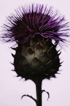 'the thistle