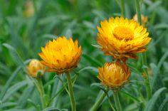 A flor-de-palha (Xerochrysum bracteatum) possui folhas delicadas e flores pequenas em 'capítulos' envolvidos por brácteas (folhas modificadas), de diversas cores. A partir do início da florada, uma mesma planta passa a produzir vários botões. A medida que alcançam a maturação, as flores devem ser colhidas e penduradas em local escuro e fresco, de cabeça para baixo. Os botões são utilizados para compor pot-pourris ou outros trabalhos artesanais e tem boa durabilidade por não murcharem nem…