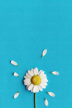 Daisy on a blue background by Ruth Black for Stocksy United – Wallpaper Sunflower Iphone Wallpaper, Daisy Wallpaper, Blue Wallpaper Iphone, Flower Phone Wallpaper, Blue Wallpapers, Black Wallpaper, Blue Background Wallpapers, Daisy Background, Flower Backgrounds