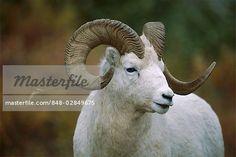 Dall sheep lambs | Dall's Sheep (Ovis dalli) ram portrait, North America Stock Photo ...