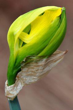 A daffodil unfurls