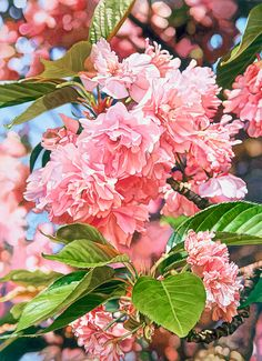 Kwanzan Cherry Blossoms (Mary Margaret Pipkin watercolor)