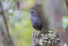 Brazil has the highest number of threatened birds in the world