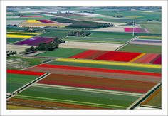 Tulip fields in Holland. I will see you first hand one day.