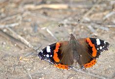 Red admiral - Vanessa atalanta (Linnaeus, 1758) - Sui bordi dello stagno di Sale Porcus - costa sud/sud-ovest - Nikon D700 con Nikon 200/400mm f/4 - iso 400 - focale 400mm #guidofrilli farfalla