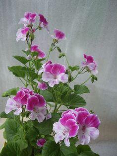 G ranium bicolore 39 mosquitaway eva 39 plante pelargonium for Geranium d interieur